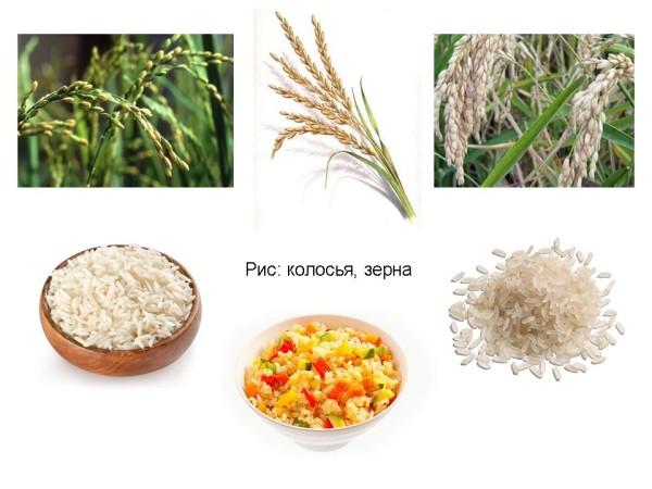 Рис. Зерна, колосья