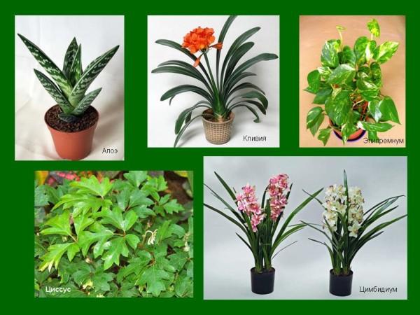 Домашнее растение Березка Роициссус уход в домашних