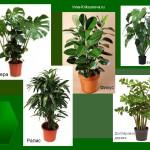 Тенелюбивые комнатные растения: фикус, монстера и др.