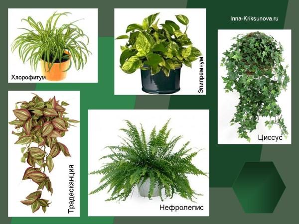 Тенелюбивые комнатные растения: традесканция, нефролепис и др.