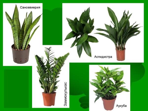 Тенелюбивые комнатные растения: аспидистра, сансевиерия и др.