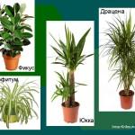 Неприхотливые комнатные растения. Фикус, хлорофитум, юкка, драцена