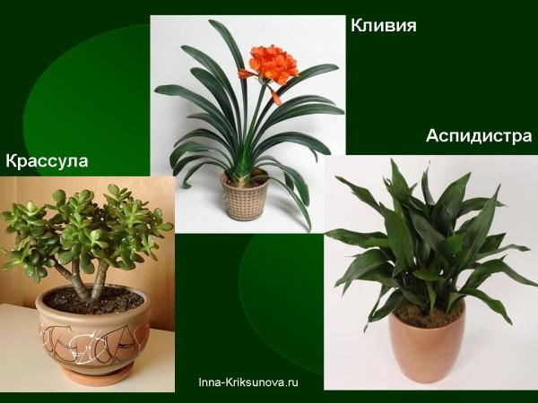 Неприхотливые комнатные растения. Крассула, кливия, аспидистра