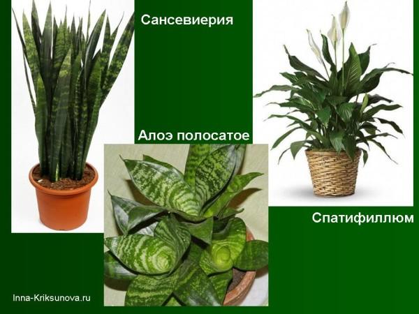 Неприхотливые комнатные растения. Сансевиерия, спатифиллюм, алоэ полосатое