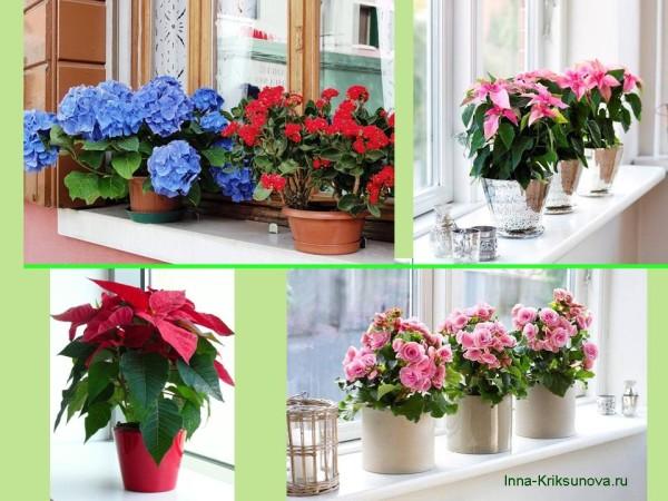 Цветы на подоконнике, роскошное цветение